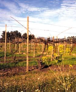 Vineyards_Hirewire